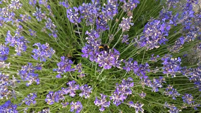 Lavender, Bumblebee, Purple, Bee, Garden, Flowers