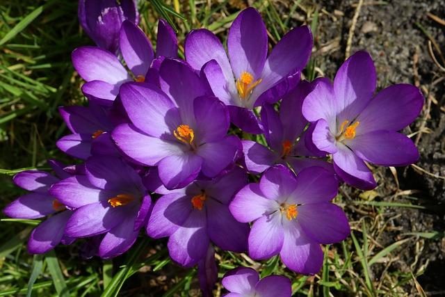 Flowers, Nature, Plant, Garden, Crocus, Purple