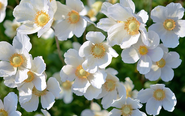 Flowers, Snowdrop Anemones, Garden, White Flowers