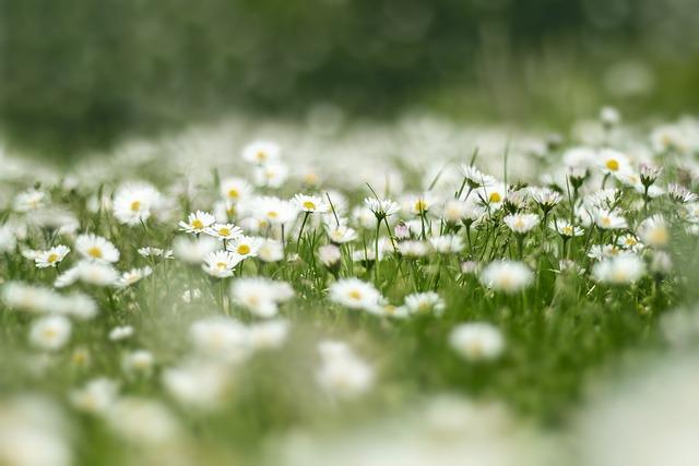 Flower Meadow, Daisy, Nature, Flowers, Grass