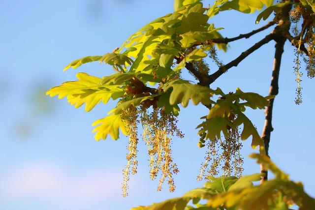 Oak, Flowers, Oak Flower, Leaves, Male, Hanging Kitten