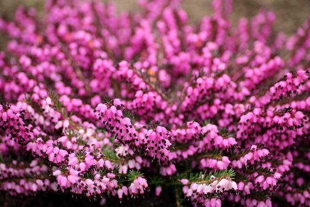 Heather, Flowers, Violet, Pink, Figure, Plants, Swamp