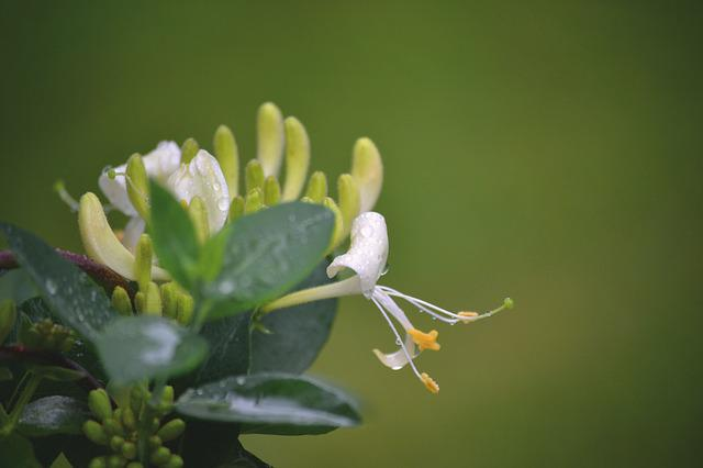 Flowers, Honeysuckle, Nature, Bloom, White, Natural