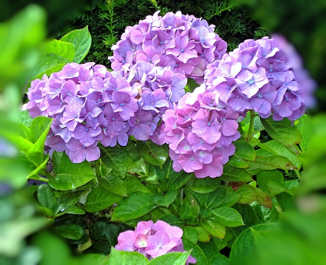 free photo flower hydrangea blue blossom purple bloom summer  max, Natural flower