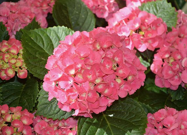Flowers Hydrangea Roses, Pink Flowers, Green Leaves