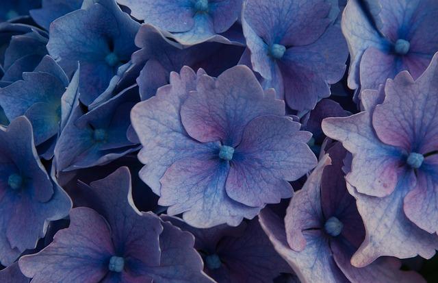 Flowers, Hydrangeas, Garden, Plant
