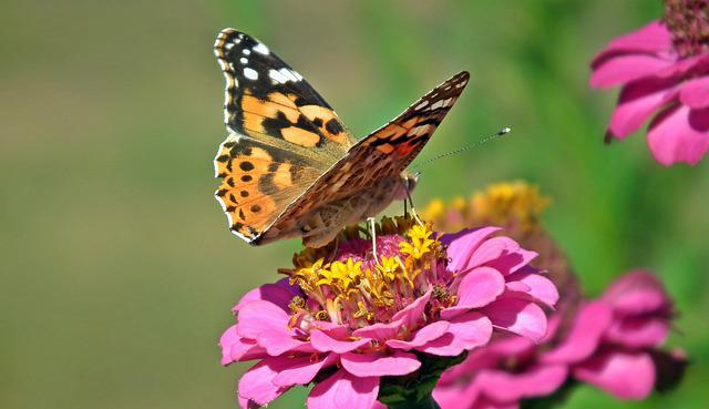 Butterfly, Insect, Tin, Flowers, Nature, Macro, Wings