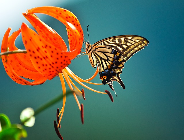 Butterfly, Flowers, Swallowtail, Insects, Nature