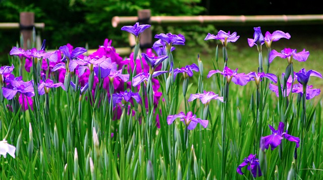 Iris, Flowers, Purple, Red Purple, Blue-violet, Bamboo