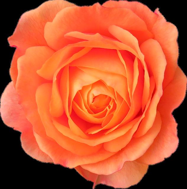 Flower, Orange, Rose, Orange Flower, Flowers Isolated