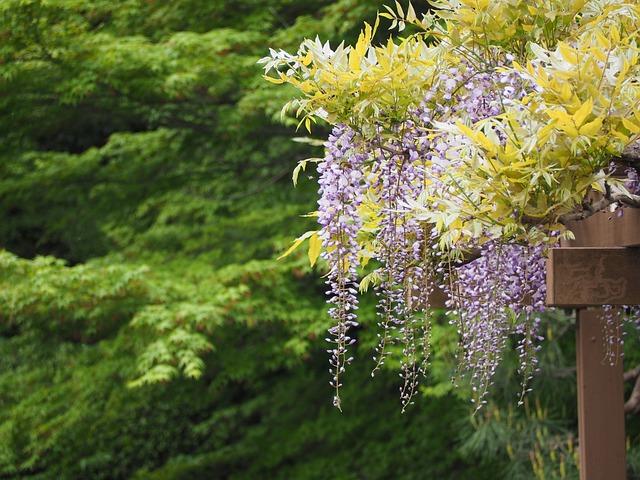 Wisteria, Wisteria Trellis, Flowers, Japan