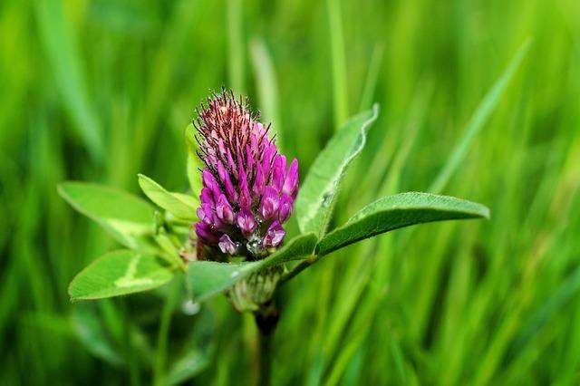 Klee, Flowers, Close Up, Purple, Trifolium