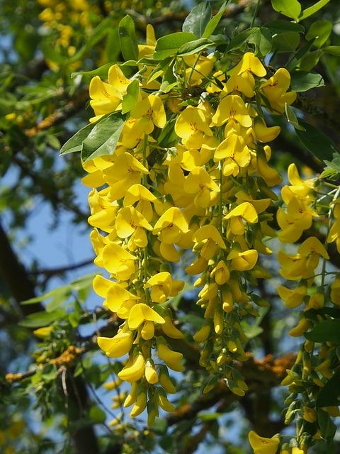 Yellow, Laburnum, Spring, Flowers