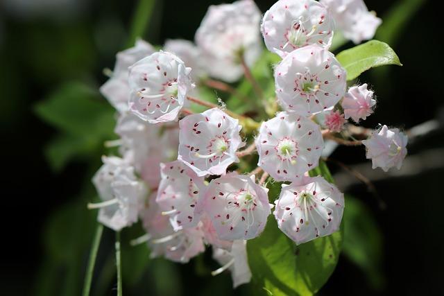 Mountain Laurel, Laurel Rose, Flowers