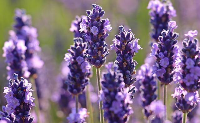 Lavender, Flower, Purple, Violet, Flowers, Flora, Bloom