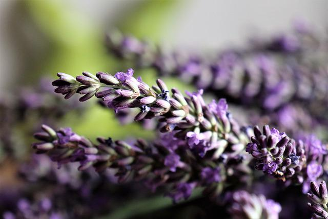 Lavender, Flowers, Herbs, The Smell Of, Violet, Plant