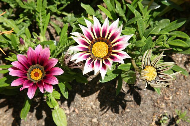Let Honiara, Chrysanthemum Decoration, Flowers, Plants