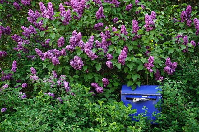 Lilac Bush, Purple, Flowers
