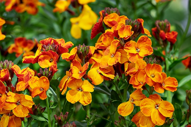 Lobelia, Fakel Lobelia, Flower, Flowers, Strong