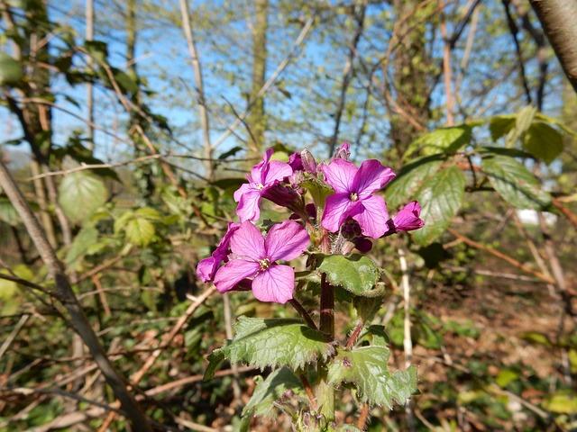 Dame'S Violet, Lunaria, Forest, Flowers