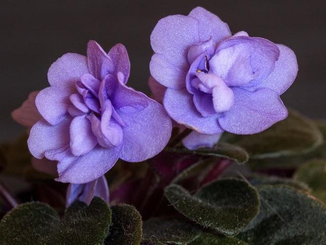 Flowers, Macro, Cyclamen