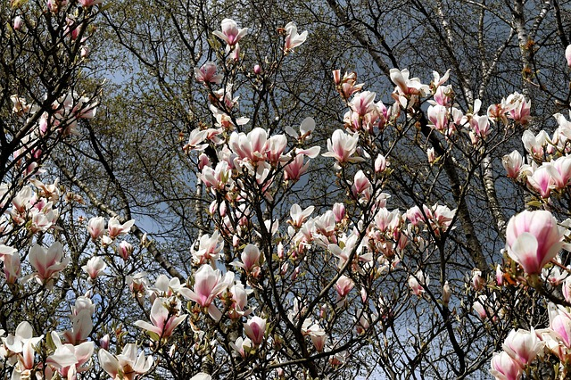 Magnolia Tree, Flowers, Spring, Nature, Magnolia, Bloom