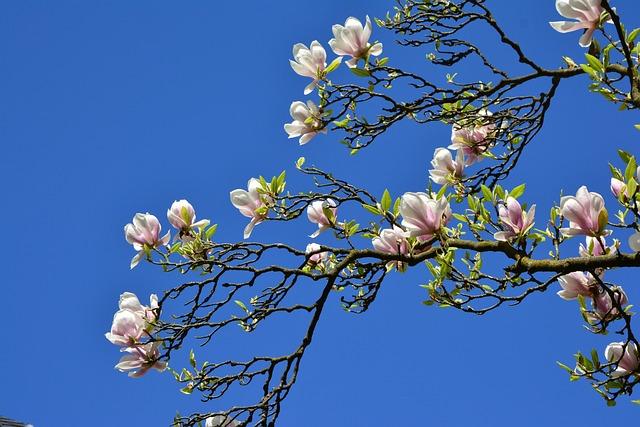 Magnolia, Magnolia Tree, Flowers, Spring