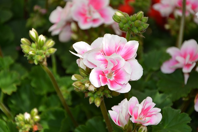 Flowers, Soft Pink Flowers With White Geranium, Managed