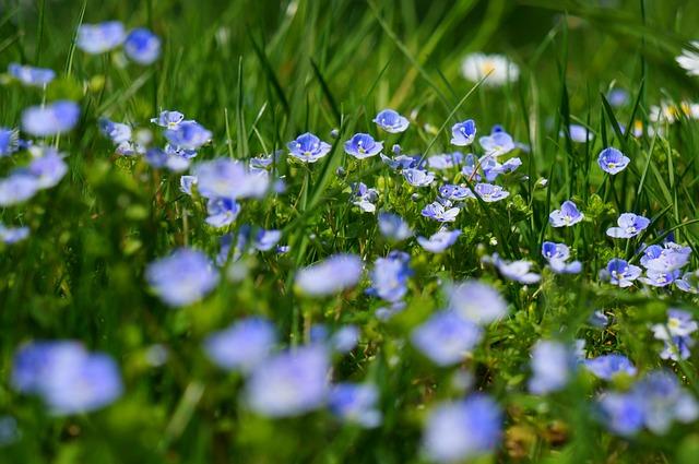 Chamaedrys, Flowers, Wild Flowers, Meadow, Bloom