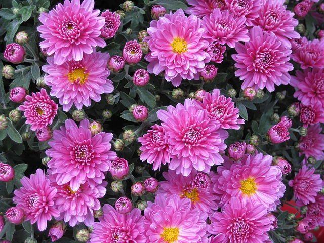 Flowers, Buds, Garden, Chrysanthemums, Chrysanths, Mums