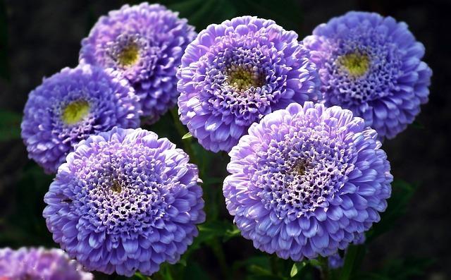 Flowers, Astra, Blue, Nature, Plant, Floral, Petal