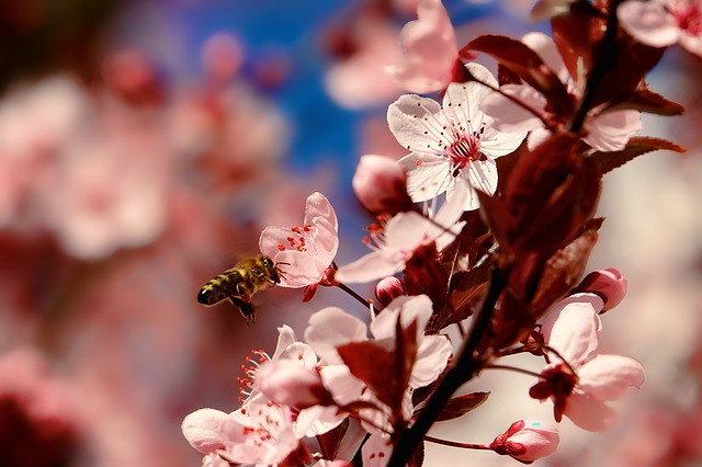 Nature, Cherry Wood, Bee, Flying Bee, Flowers