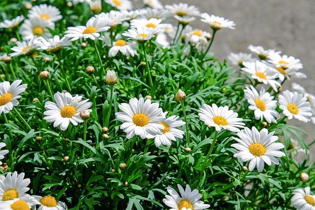 Daisies, Flowers, Bloom, White, Yellow, Plant, Nature
