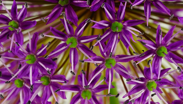 Ornamental Onion, Flower, Flowers, Plant, Close, Nature