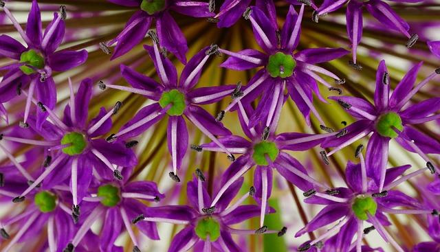 Ornamental Onion, Flower, Flowers, Plant, Close, Nature