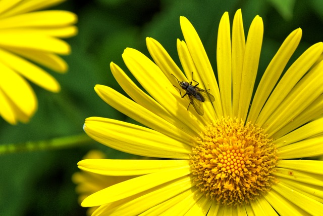 Peucedanum, Daisy Flower, Perennials, Flowers, Nature