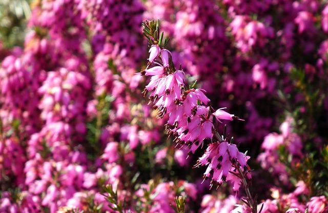 Erica, Flowers, Nature, Blooming, Garden, Spring