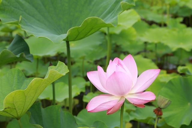 Plants, Lotus, Aquatic, Leaf, Flowers, Nature