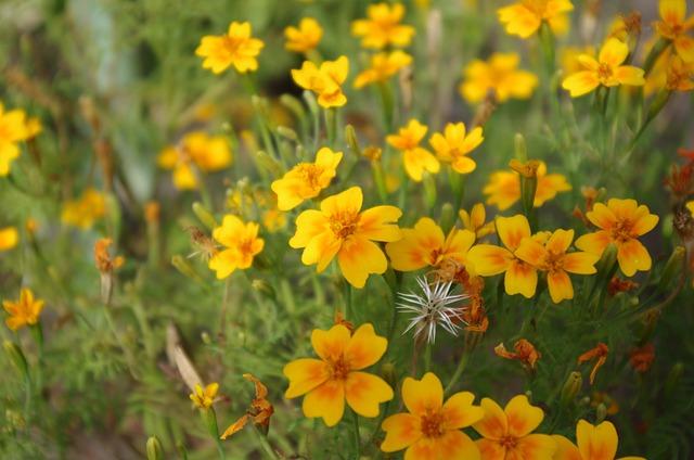 Meadow, Flowers, Marigold, Turkish, Nature