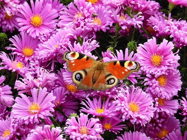 Flowers, Purple, Nature, Plant, Butterfly, Peacock