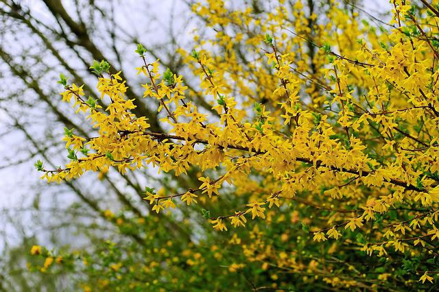 Flowers, Spring, Forsythia, Bloom, Nature, Yellow, Sky