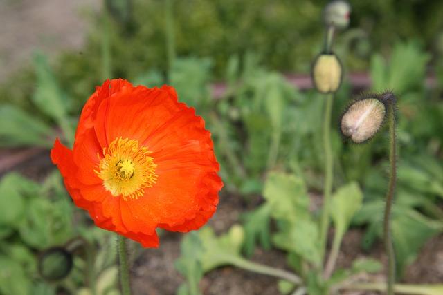 Poppy, Yanggwibikkot, Spring, Nature, Plants, Flowers