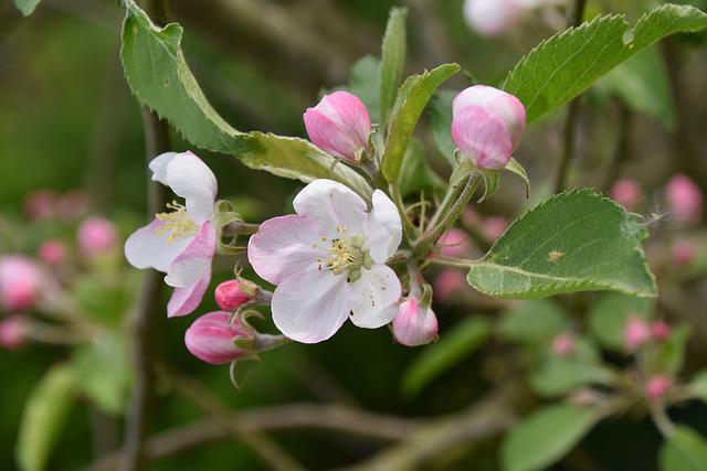 Flower, Flowers Of Apple Tree, Button Flowers