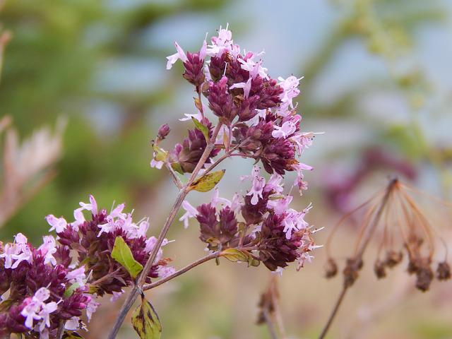 Flowers Of The Field, Marjoram, Macro