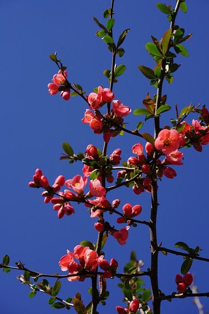 Ornamental Quince, Bush, Tree, Bill Quince, Flowers