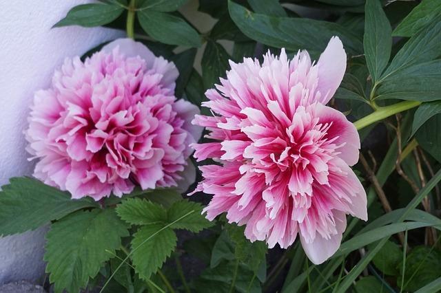 Peon, Garden, Norway, Flowers, Pink Petals, Flora