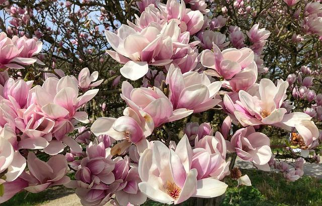 Flower, Garden, Plant, Nature, Magnolia, Petal, Flowers
