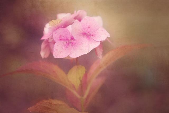Flower, Pink, Flowers, Pink Flowers, Pink Flower, Phlox