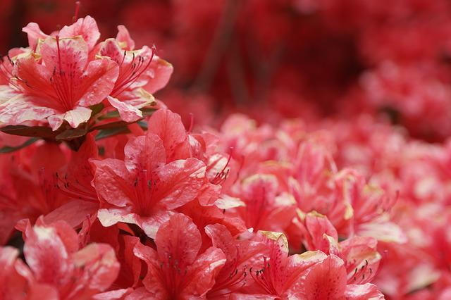 Azalea, Flowers, Pink, Nature, Red Flowers, Spring