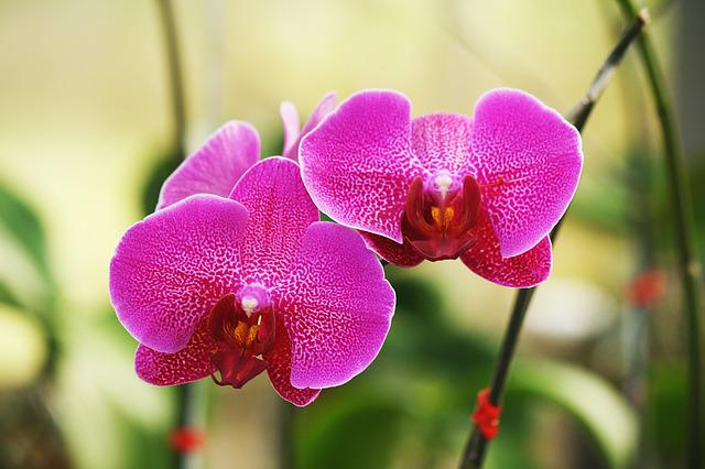 Orchid, Flower, Flowers, Pink Orchid